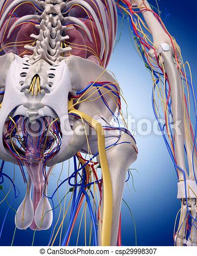 Cadera, anatomía, exacto, ilustración, medically.
