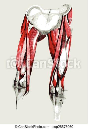 Cadera, anatomía, músculos, pierna, pencil., mano, acuarela, drawn.