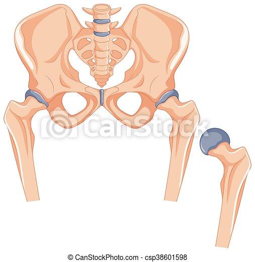 Cadera, huesos, cuerpo, humano. Cadera, cuerpo, huesos, humano ...
