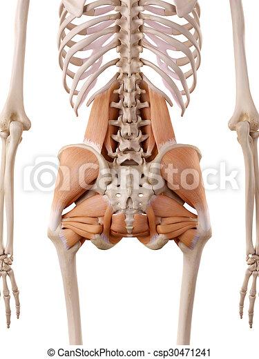 Cadera, músculos, exacto, -, ilustración, anatomía, medically.