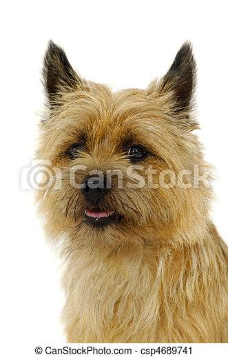 Cairn Terrier Hund Cairn Lieb Rasse Hund Gesicht Hintergrund