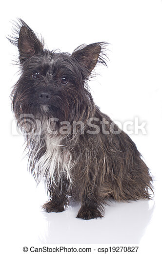 Cairn Terrier isolated on white