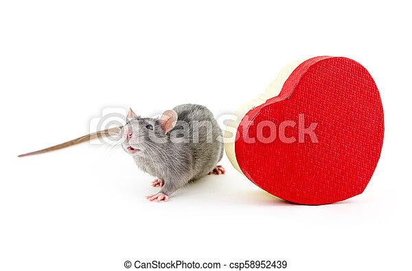 Rata gris con una caja de regalo de corazón rojo símbolo de San Valentín fiesta festiva de diseño de vacaciones en el fondo aislado - csp58952439