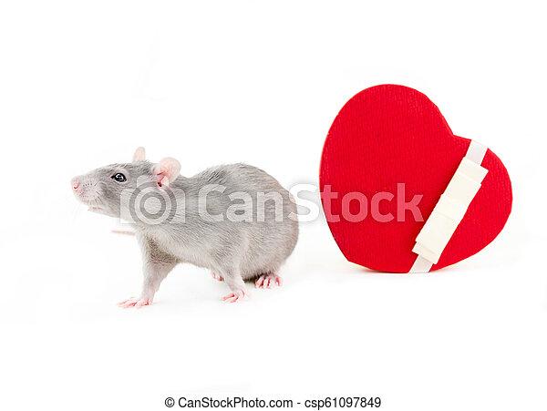 Bonita rata explorando una caja de regalos festiva con un corazón con una cinta blanca, un símbolo de amor, un día de fiesta de San Valentín - csp61097849