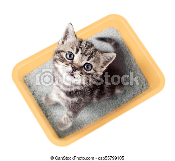 Vista de gato en la caja de arena amarilla aislada - csp55799105