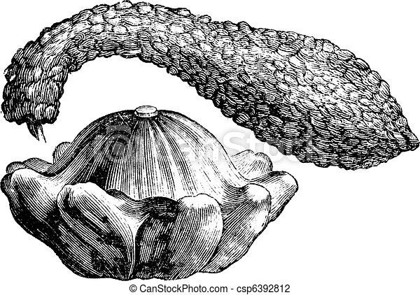 Calabash or Lagenaria vulgaris vintage engraving - csp6392812