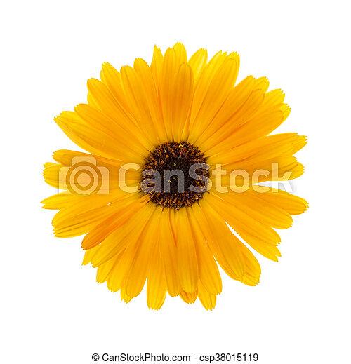calendula, 花 - csp38015119
