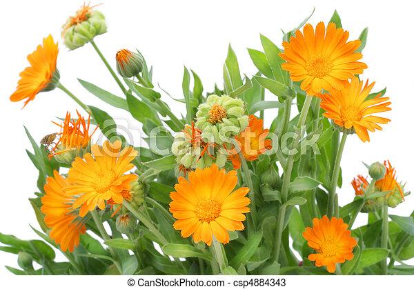 calendula, buisson, fleurs - csp4884343