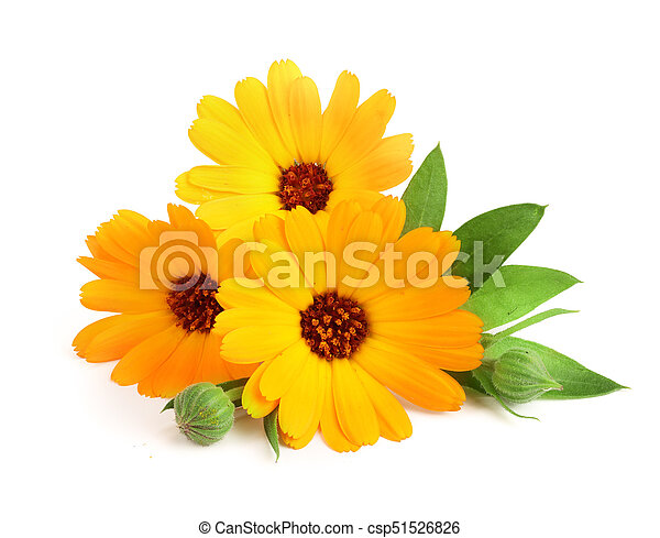 Calendula marigold flower with leaf isolated on white background mightylinksfo