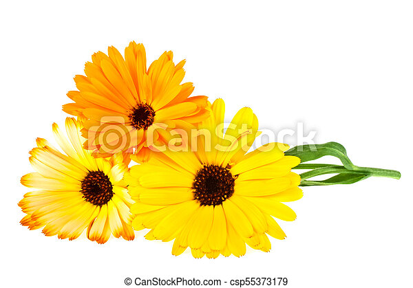 Calendula. Marigold flower with leaves isolated on a white background - csp55373179