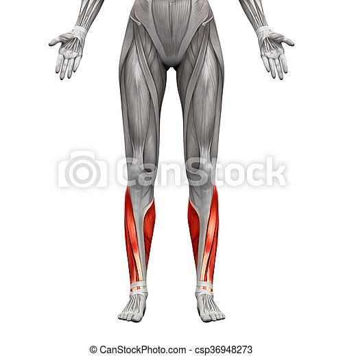 Calf Muscles Anatomy Muscles Isolated On White 3d Picture