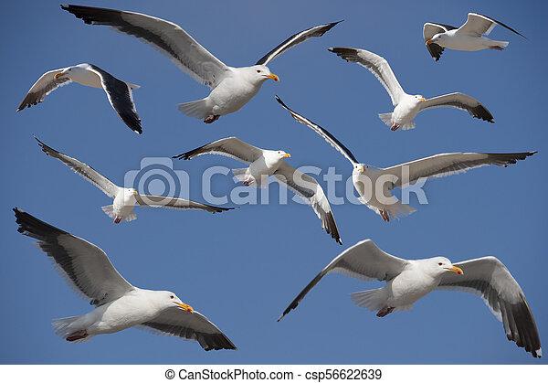California Gull - csp56622639