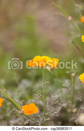Close up of an orange california poppy flower eschscholzia stock california poppy flower eschscholzi csp36983511 mightylinksfo