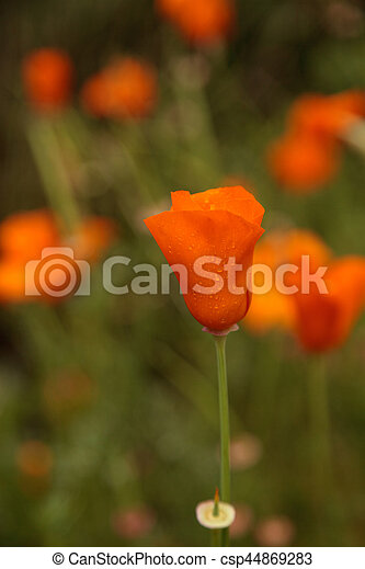 Close up of an orange california poppy flower eschscholzia california poppy flower eschscholzia californica csp44869283 mightylinksfo