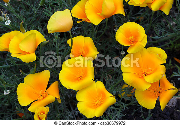 California poppy flowers california poppy or the nightcap california poppy flowers csp36679972 mightylinksfo