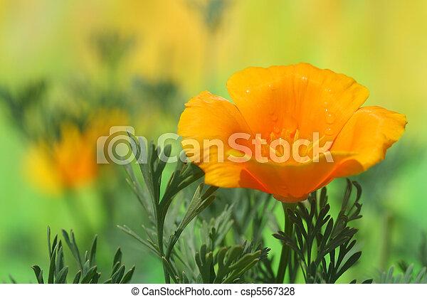 California Poppy - csp5567328