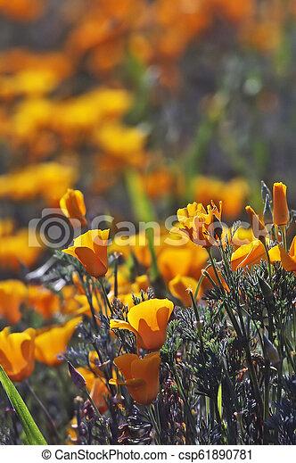 California Poppy - csp61890781