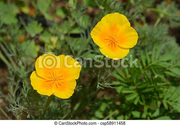 California poppy - csp58911458