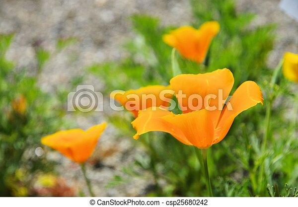California poppy - csp25680242