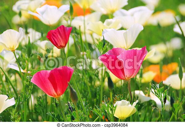 California poppy - csp3964084
