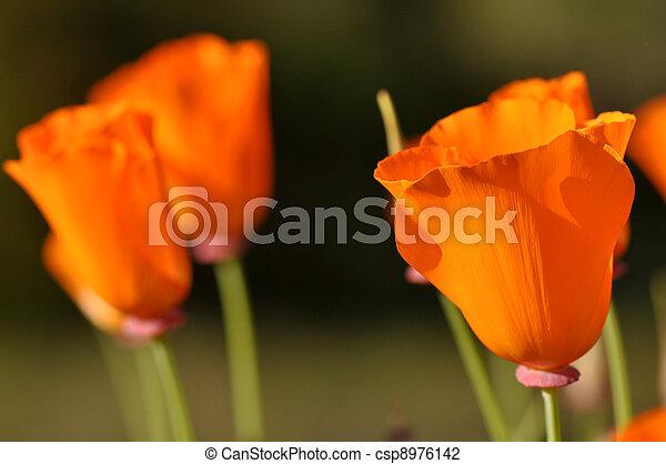 California Poppy - csp8976142