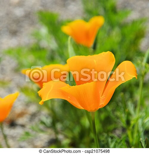 California poppy - csp21075498