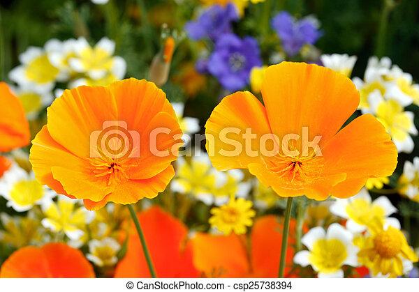 California poppy - csp25738394
