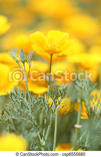 California Poppy - csp6555680