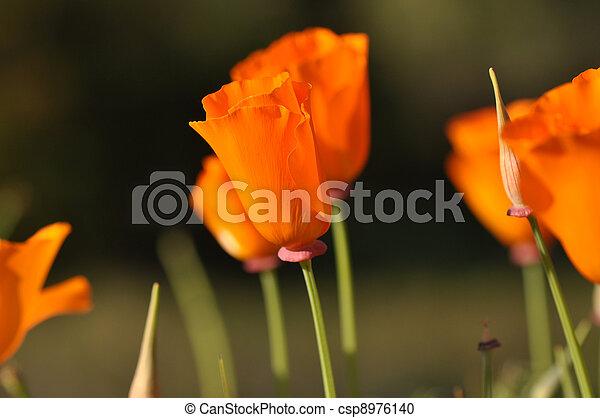 California Poppy - csp8976140