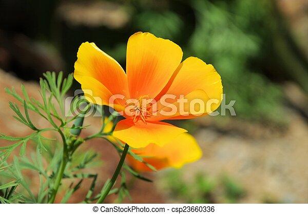 California poppy - csp23660336