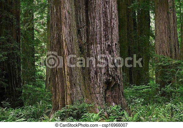 California Redwood Forest - csp16966007
