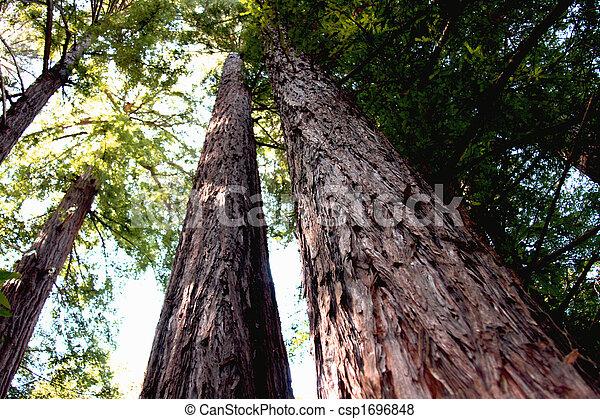 california redwoods - csp1696848