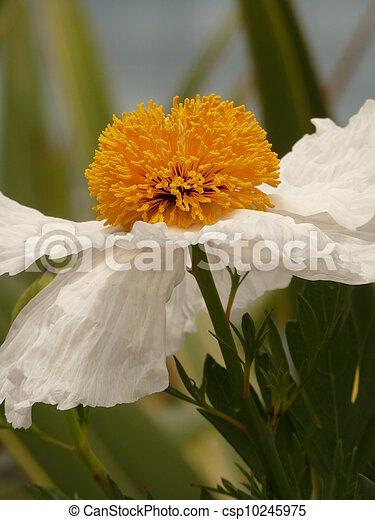 California tree poppy flower white california tree poppy romneya california tree poppy flower csp10245975 mightylinksfo
