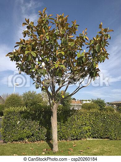 California white magnolia southern california magnolia tree with california white magnolia csp20260184 mightylinksfo