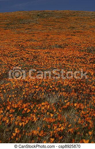 Californian Poppies - csp8925870