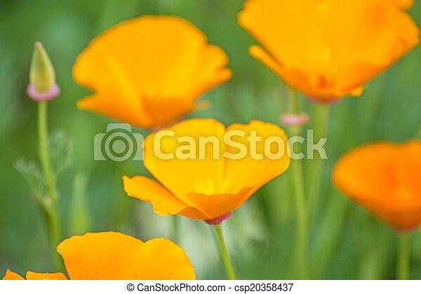 Californian poppies - csp20358437