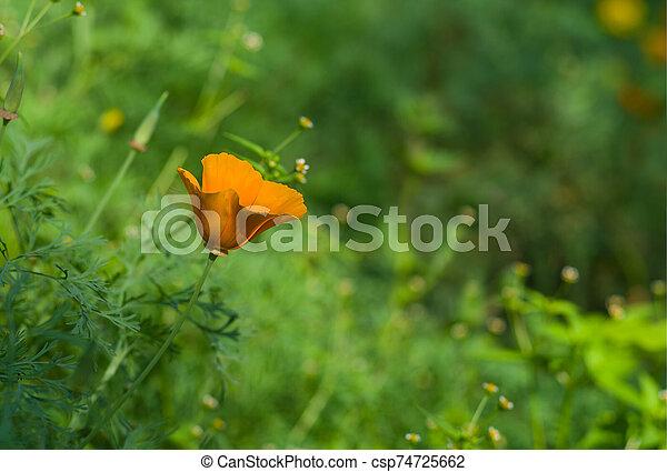 Californian poppy lost in a garden jungle - csp74725662