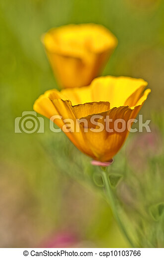 Californian poppy - csp10103766