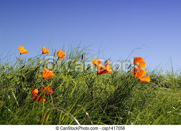 Californian poppy - csp1417056
