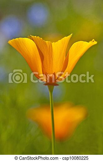 Californian poppy - csp10080225