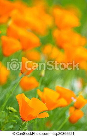 Californian poppy - csp20365521
