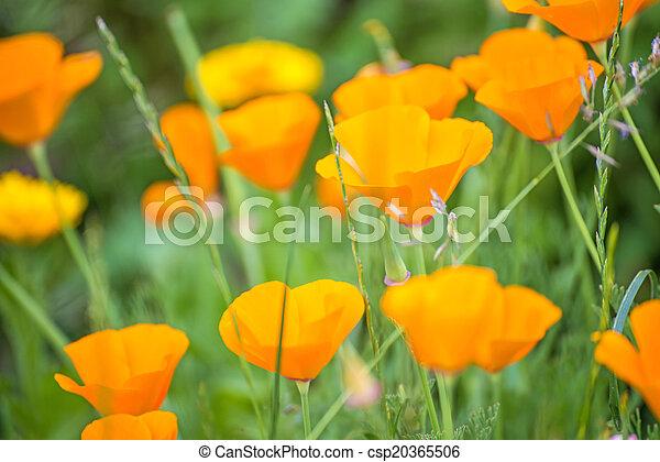 Californian poppy - csp20365506