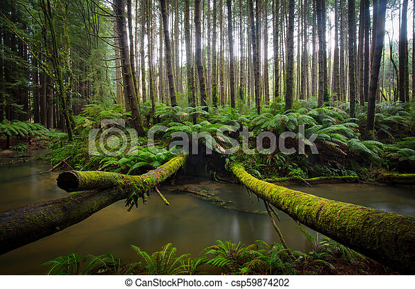 Californian Redwood Forest - csp59874202