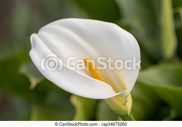 Calla lily flower zantedeschia the great white waxy stock calla lily flower zantedeschia csp34675260 mightylinksfo