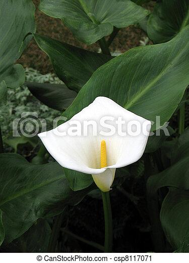Calla-lily in a garden - csp8117071