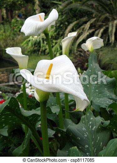 Calla-lily in a garden - csp8117085
