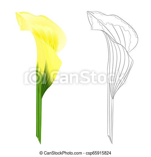Calla Lily Yellow Flower Natural And Outline Vector Calla Yellow