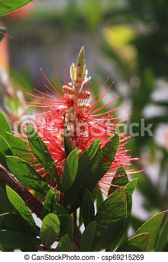 Callistemon or bottle brush flower. Close-up of red needle-like flower on the green shrub in yearly spring. - csp69215269