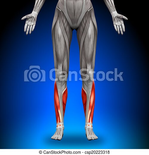 Calves - Female Anatomy Muscles - csp20223318