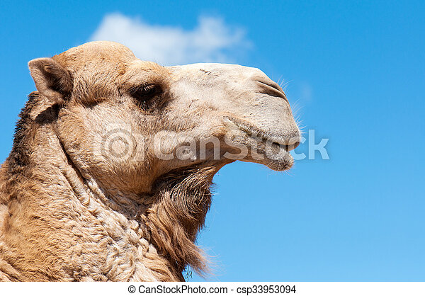 Camel face with blue background - csp33953094
